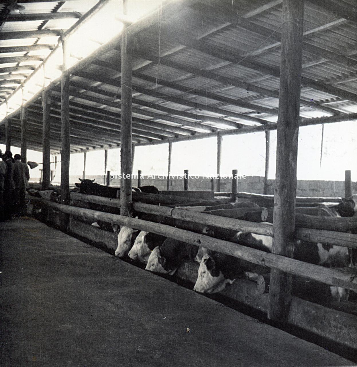 Archivio di Stato di Bergamo, Ispettorato provinciale dell'alimentazione, Ispettorato provinciale dell'agricoltura, Schedario fotografico dell'ex Servizio provinciale Foreste e Alimentazione (1961/1983),5.1: Allevamento - aziende, ---, 2_5.1-009